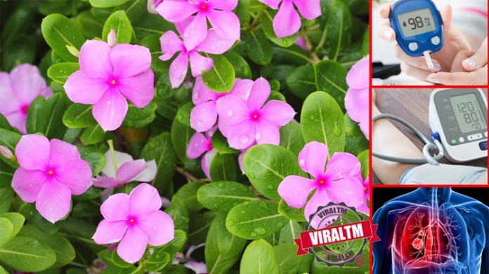 sadabahar-plant